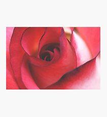 Soft Rose Photographic Print