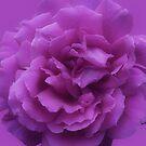 Purple Rose by Christine Lake