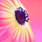 Mesembryanthemum by Sarah-Jane Covey