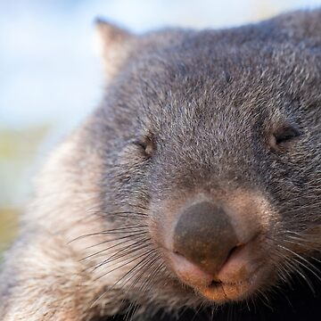 Wombat outside during the day. by artistrobd