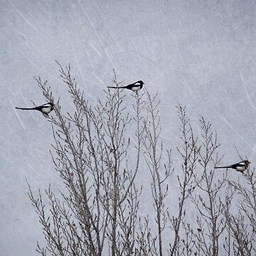 3 Magpies by LynnStarner