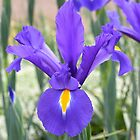 Iris Stunner by Penny Smith