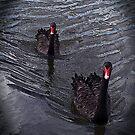 Black Swans by Jennifer Sumpton