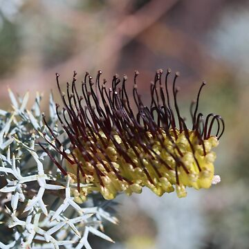 Grevillea armigera Meisn. Prickly Toothbrushes - 2 by kalaryder