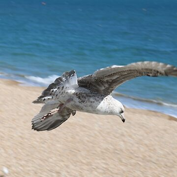 Lyme Seagull by kalaryder