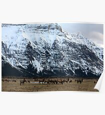 Elk Herd at Waterton Poster