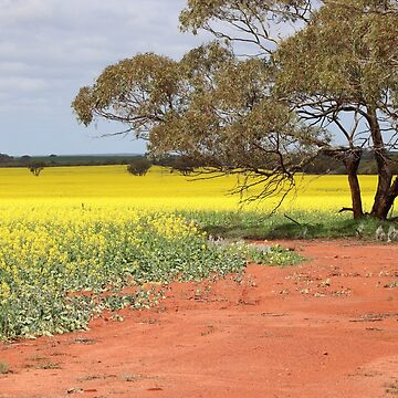 Canola in Contrast by kalaryder