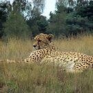 cheetah- Wild life by Wijzermetirene