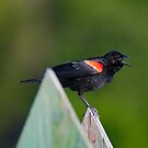 Red-winged Blackbird  by TJ Baccari Photography