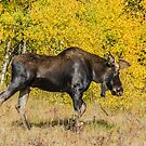 Moose Autumn Jog by Gregory J Summers