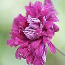Clematis viticella 'Purpurea Plena Elegans' by Sarah-Jane Covey