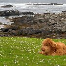 Highland Calf by the coast by citrineblue