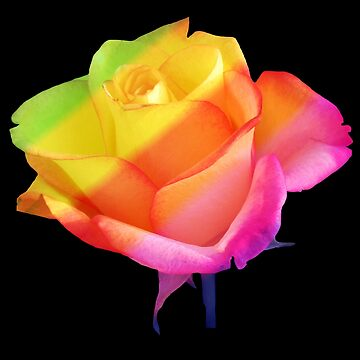beautiful, colorful rose, roses, flower, rainbow by rhnaturestyles