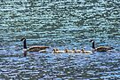 Goose family swims in Loch Awe, Scotland by Beth A.  Richardson
