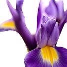 Purple Iris by George Kypreos