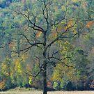 Dreaming  Tree, Catalooche, GSMNP by raindancerwoman