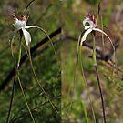 Caladenia speciosa by Colin12