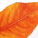 Autumn vein by Catherine Tranter