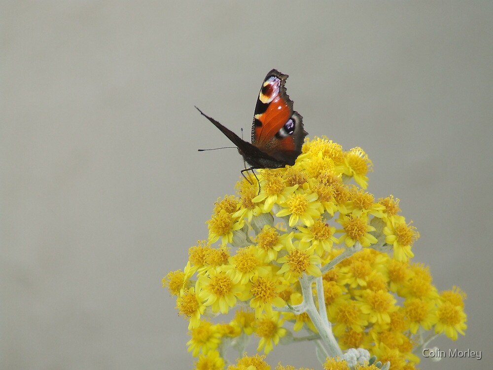 Butterfly by Colin Morley