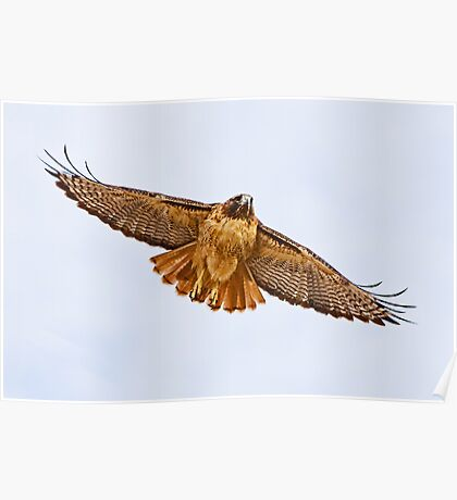 1010092 Red Tailed Hawk Poster