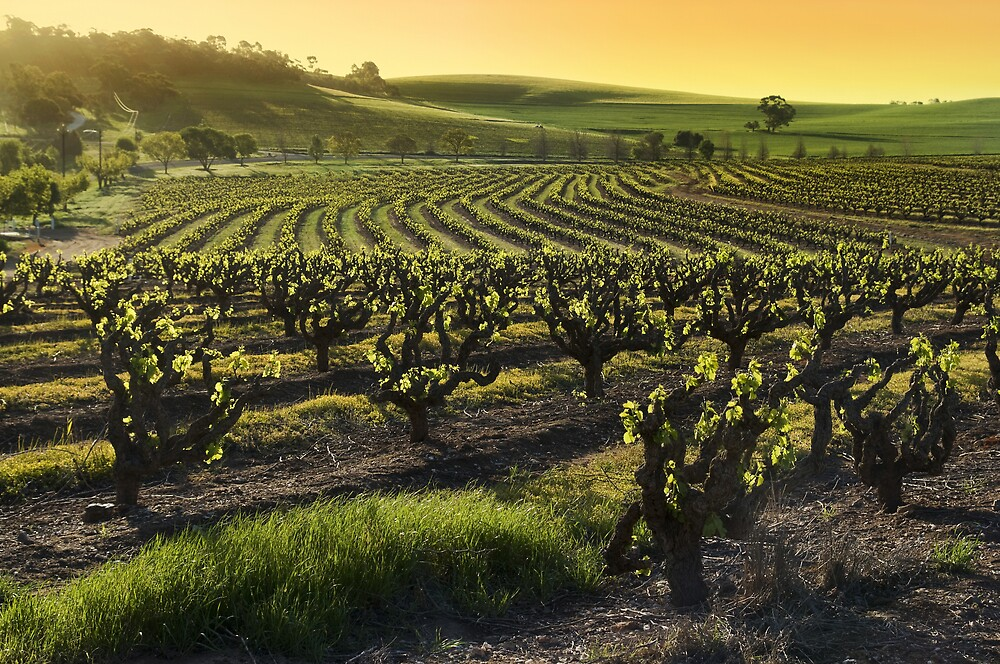 Barossa Valley Vineyards by karfarzel