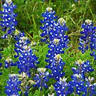 Texas Bluebonnets by Susan Russell