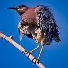 Green Heron by TJ Baccari Photography