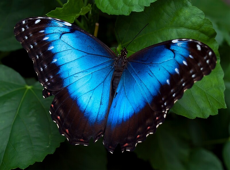 Quot Blue Morpho Butterfly Quot By Jenni77 Redbubble