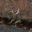Caladenia nivalis by Colin12