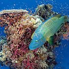 Humphead Wrasse by Norbert Probst
