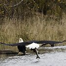 Bald Eagle Bringing a Fish to His Mate by David Friederich