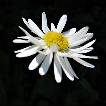 Daisy Flower by Forfarlass
