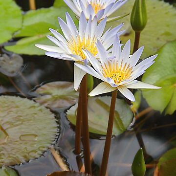Water Lilies by Carole-Anne