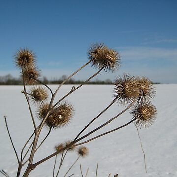 Winter seedheads by shafryle