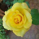 Fresh Yellow....! by nasera