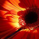 Gerberas.  Orange Delight. by Lozzar Flowers & Art