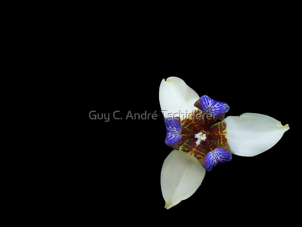 Orchid, Ciudad Colon, Costa Rica by Guy C. André Tschiderer