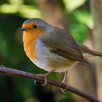 Christmas robin by photosbygemmad