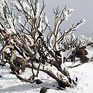 Snowgums 4 by David Sundstrom