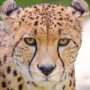 Cheetah portrait by photosbygemmad