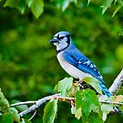 Blue Jay by TJ Baccari Photography
