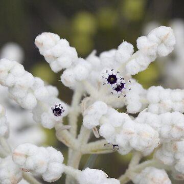 Popcorn bush 1 by phil1509