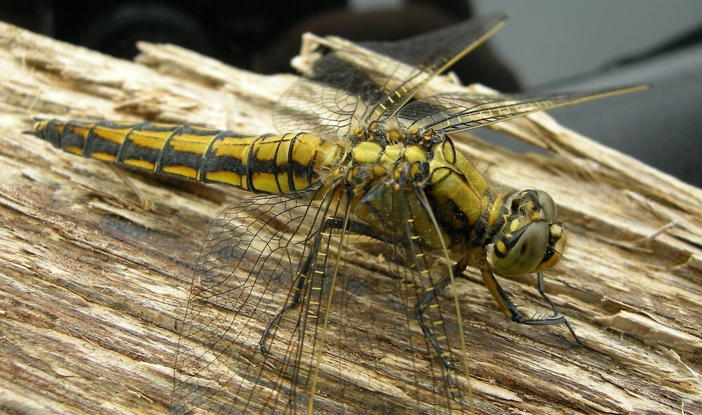 Yellow dragon by woodlandninja