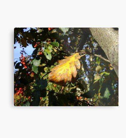 Autumn - yellow leaf, Burntisland 2009 Metal Print