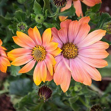 Orange Flowers by sunilbhar