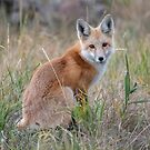 Red fox in Colorado by Eivor Kuchta