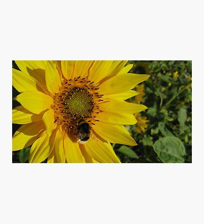 Sunflowers, Belgium Photographic Print