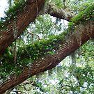 Ye Olde Oak Tree, St Augustine, Florida. by Kurt Bippert
