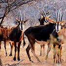 THE SABLE ANTELOPE - Hippotragus niger by Magriet Meintjes
