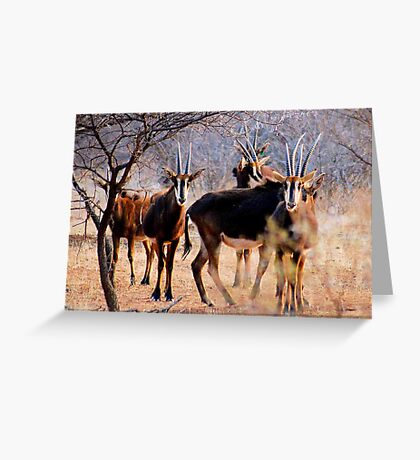 THE SABLE ANTELOPE - Hippotragus niger Greeting Card